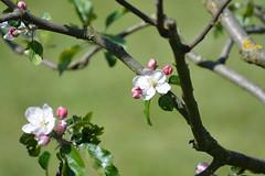 Apfelblte (, Ting Chen, Wing) Tags: apple apfel  malusdomestica
