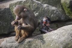 Like mother like son (sz1507) Tags: family school berlin mom zoo cub education son mamma learning monkeys zoologischergarten scuola berlinzoo scimmie likemotherlikeson imparare