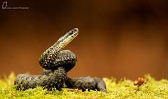 Female Scottish Adder (Lesley4444) Tags: uk sun nature scotland snake wildlife scottish adder venomous dumfries galloway basking vipera berus