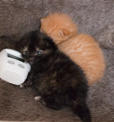 IMG_9489 (jaglazier) Tags: usa cats playing cute animals babies unitedstates tiger may indiana kittens siblings bloomington mammals blackie 2016 52416 copyright2016jamesaglazierandjamesaferguson
