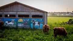 It's a mad cow's world (PaulHoo) Tags: art grass animal fauna fun lumix graffiti evening cow paint farm joy decoration bull farmland lightroom 2016 mijdrecht