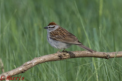 Chipping Sparrow - Bruyant famalier (skivoile) Tags: sparrow chipping bruyant famalier