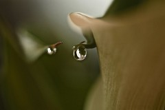 Does the Lily Weep? (smilla4) Tags: flower macro waterdrop lily bokeh callalily