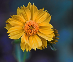New Mexico Chysanthemum (Jo-85'F today. Whew, gonna be HOT!!!) Tags: macro yellow closeup wildflower chrysanthemum odc inthebackyard newmexican