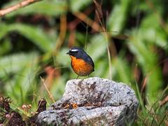 Snowy Browed Flycatcher - Male (WilliamPeh) Tags: wild male bird birds animal outdoor snowy wildlife birding olympus explore omd flycatcher browed em5