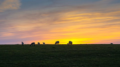 Family (TanzPanorama) Tags: family england animal rural sussex countryside scenery sheep dusk sony sonynex5n tanzpanorama