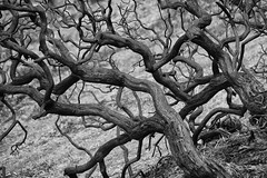 Natural Causes (Phil W Shirley) Tags: bw tree forest fire mono burnt twisted newforest charred 52weeksthe2016edition week182016 weekstartingfridayapril292016
