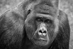 The Patriarch (The Wasp Factory) Tags: portrait blackandwhite zoo mono gorilla hannover portrt hanover silverback niedersachsen westernlowlandgorilla silberrcken schwarzweis gorillagorillagorilla hanoverzoo erlebniszoohannover erlebniszoo westlicherflachlandgorilla