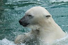 Ijsberen, Wildlands-7606 (Josette Veltman) Tags: zoo arctic ijsbeer icebear emmen dierentuin icebears noordpool roofdier wildlands ijsberen