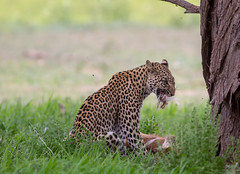 Ugh! Mouth full of fur (jaffles) Tags: park nature southafrica wildlife natur olympus safari explore leopard prey predator kalahari sdafrika transfrontier kgalagadi raubtier inexplore