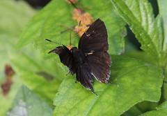 Liuzhou/ - Heliophorus sp. 1287 (Petr Novk ()) Tags: china nature animal butterfly insect asia wildlife lepidoptera asie   guangxi liuzhou   lycaenidae hmyz    heliophorus motl  na