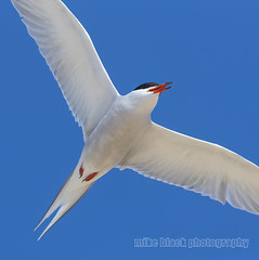 Tern in flight 100% crop Canon EOS-1D X Mark II (Mike Black photography) Tags: ocean new red 2 sky usa white black bird beach mike nature canon lens is big wings body mark year birding nj atlantic ii shore jersey l usm 100400mm mk 1dx