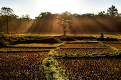 Jungle Rays (Maddog Murph) Tags: new travel nepal light green field yellow rural sunrise landscape photography dawn day ray village jeep ngc harvest illuminated beam safari jungle western fields rays traveling beams illuminate bardia