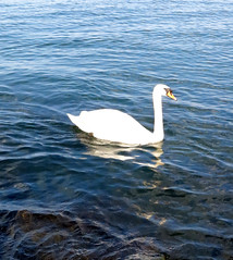 One Swan a-Swimmin' (Georgie_grrl) Tags: toronto ontario beautiful sunshine swimming spring swan harbourfront lovely lakeontario waterfowl loner canonpowershotg15 hangingwithmondo