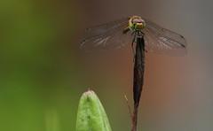 Riposo (lincerosso) Tags: libellule dragonflies sympetrum primavera riposo volo bellezza armonia