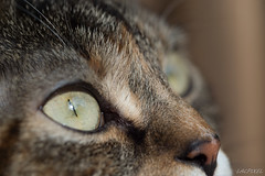 Luna's eyes (LACPIXEL) Tags: macro cat outside eyes nikon chat flickr colours couleurs colores luna yeux ojos gato extrieur anythinggoes afuera d4s macromondays nikonfrance lacpxiel
