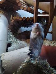 P1000074 (therovingeye) Tags: pets gerbil rodents gerbilhabitat