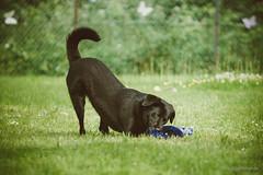 Butterfly Ben (stephubik) Tags: portrait dog playing black ben outdoor