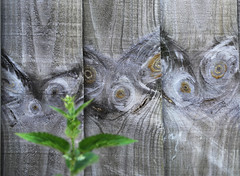 Au naturel (ProSession) Tags: wood macro green nature countryside weathered nettle knots planks cambridgeshire haddenham
