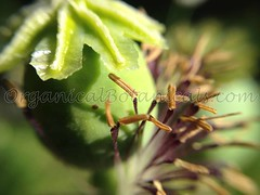 13497610_10206458550038986_979378408909149820_o (Unusual Botanicals) Tags: fish macro eye art lens photography high grow fisheye attachment afghan poppy poppies resolution farms hd how growing hq poppyseed izmir lenses botanicals iphone highres papaversomniferum opiumpoppy poppypods organical opiumpoppies turkishimports iphoneography poppycultivation organicalbotanicals opiumpoppycultivation opiumpoppiesseed izmiroilampspicecompany izmirpoppy