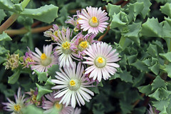 Oscularia major (Weston) Schwant. apud Jacobsen (Syn. Oscularia deltoides var major) - Meise-001