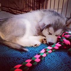 sleeping puppy (ameliabeare) Tags: dog puppy malamute alaskanmalamute