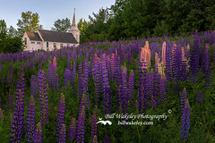 Eternal Light (Bill Wakeley) Tags: new flowers sunset mountains church floral spring glow purple dusk newengland newhampshire sunsets franconia hampshire ethereal glowing pastures serene wildflowers pastoral wildflower springflowers purpleflower lupine warmlight purpleflowers sugarhill lupines northernnewengland springflower presidentialrange thewhitemountains sceniclandscape sceniclandscapes newenglandlandscape floweringlandscape billwakeley suagrhill floweringlandscapes