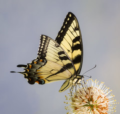 Eastern Tiger Swallowtail. (tresed47) Tags: 2016 201607jul 20160701kerrparkinsects brandywinekardon butterflies canon7d chestercounty content easterntigerswallowtail flowers folder insects pennsylvania peterscamera petersphotos places swallowtail takenby us ngc npc