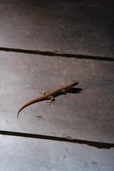 Nocturnal Noisemaker (Stephen Lioy) Tags: ocean island pacific gecko micronesia yap oceania federatedstatesofmicronesia