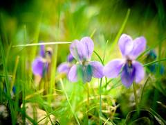 African Violet (CamMonkeh) Tags: flowers grass garden spring dof bokeh violet wildflowers africanviolet homemadelens gf1 legacylens hanimex28mm