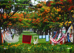Siesta For Sale (osvaldoeaf) Tags: city flowers trees brazil urban tree green nature brasil garden landscape hammock siesta flamboyant goinia gois poinciana wonderfulworldofflowers