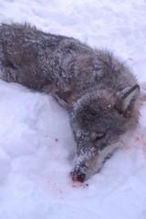 Wolf Hunting / Caza del Lobo