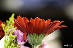 Sumardags fyrsti blómvöndur (Anný) Tags: pink flowers red macro green iceland purple ísland rautt blóm 100mmmacro bleikur grænn fjólublátt canon60d