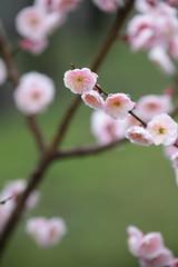 (kimuchi583) Tags:  kairakuen japaneseapricot  umeblossoms
