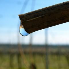 Drop of Blood (barockschloss) Tags: wine vine drop wein tropfen weinberg rebe rebbluten
