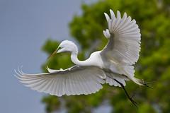 Soft Landing (Andy Morffew) Tags: florida explore greategret bif venicerookery naturethroughthelens birdperfect blinkagain bestofblinkwinners andymorffew morffew