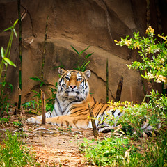 They're Gr-r-reat!! (John Jacobs) Tags: sc tiger columbia tgif riverbankszoo twtme beautifulcapture