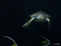 Sea turtle head on (beachkat1) Tags: turtles seaturtle riverbankszoo yabbadabbadoo zoosofnorthamerica