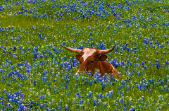 She's Just a Youngster Enjoying the Bluebonnets! (TheFathersCreations) Tags: canon texas longhorns bluebonnets texaslonghorns lonestarstate texasbluebonnets