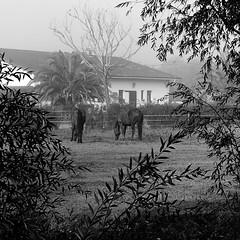 caballos (ines valor) Tags: caballos niebla