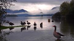 Sunrise (MickyFlick) Tags: england lake geese lakedistrict ducks derwentwater keswick