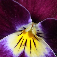 Hornveilchen #flower #flowers #flowerlover #plant #spring #pansy #pansies #color #purple #lila #violett #natur #nature #nature_josefharald #macro #nofilter #macro_power_hour #macroflower #flowermacro #igersgermany #germany #instagramhub #mygarden
