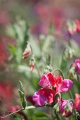 IMG_0473 (mtaberner) Tags: flowers photography carlsbadflowerfields sweetpea softfocus carlsbad sweetpeaflower