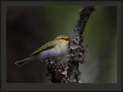 Wood Warbler (best large) (Rainbirder) Tags: thetrossachs woodwarbler phylloscopussibilatrix rainbirder