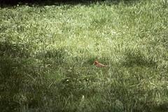 Cardinal (acdesigns2012) Tags: county macro bird gold md backyard minolta cardinal kodak 5 birding sigma maryland baltimore 200 mm birdwatching maxxum songbird cardinaliscardinalis 70300 cardinalis northerncardinal perching kodakgold200 passerine perchingbird