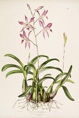 n47_w1150 (BioDivLibrary) Tags: guatemala mexico orchidaceae plants missouribotanicalgardenpeterhravenlibrary bhl:page=769163 dc:identifier=httpbiodiversitylibraryorgpage769163 taxonomy:binomial=laeliaautumnalis womeninscience artist:name=augustainneswithers artist:viaf=95819243 augustainneswithers q2870951 illustrator:wikidata=q2870951 hernaturalhistory