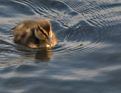 Duckling (Ben124.) Tags: baby cute wet water duck spring flickr duckling babyduck