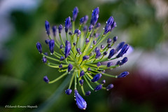 Drops (Edu Romano Maqueda) Tags: flower drops minolta bokeh sony gotas 17 a77 minolta50mm sonya77 edromanomaqueda