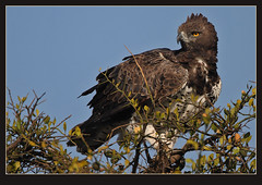 Martial Eagle (Rainbirder) Tags: masaimara martialeagle polemaetusbellicosus rainbirder