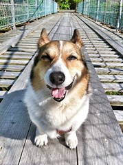 Now I'm on a Rope Bridge! (moaan) Tags: trip travel dog smile digital happy corgi utata welshcorgi 2012 iphone pochiko  iphone4